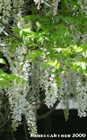 Passalaqua wisteria resized